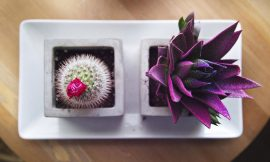buy succulent plant